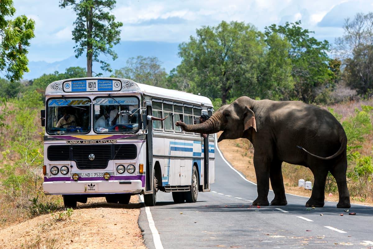 éléphant dit bonjour au bus sri lanka