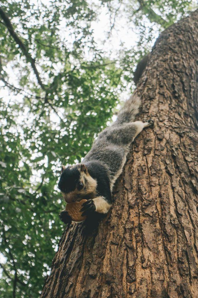 écureuil géant sri lanka