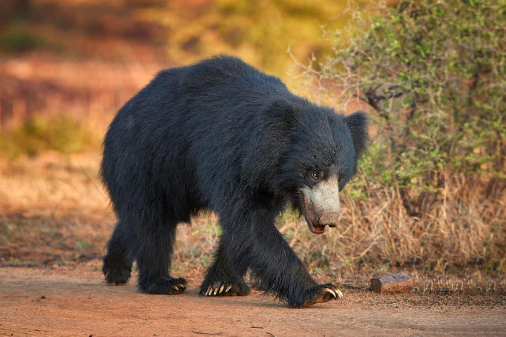 ours paresseux du Sri Lanka