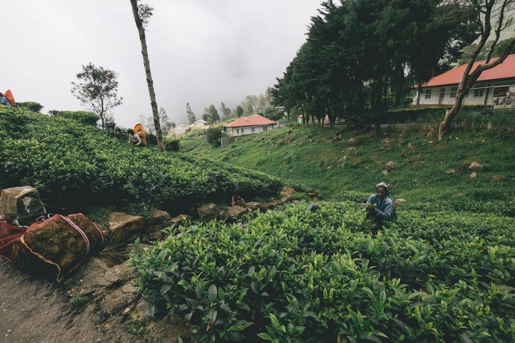 cueilleuse de thé haputale