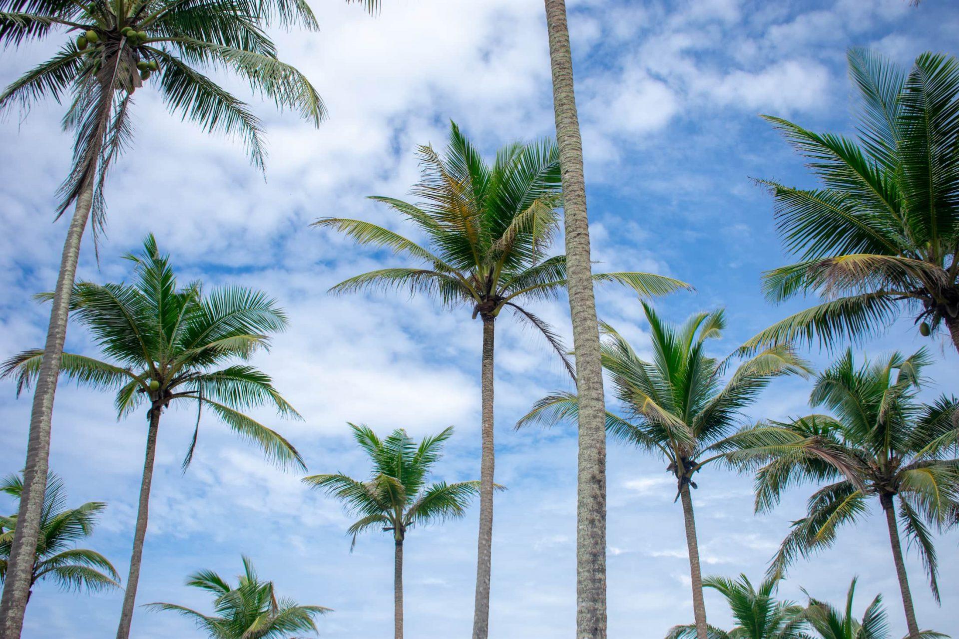 palmiers sri lanka