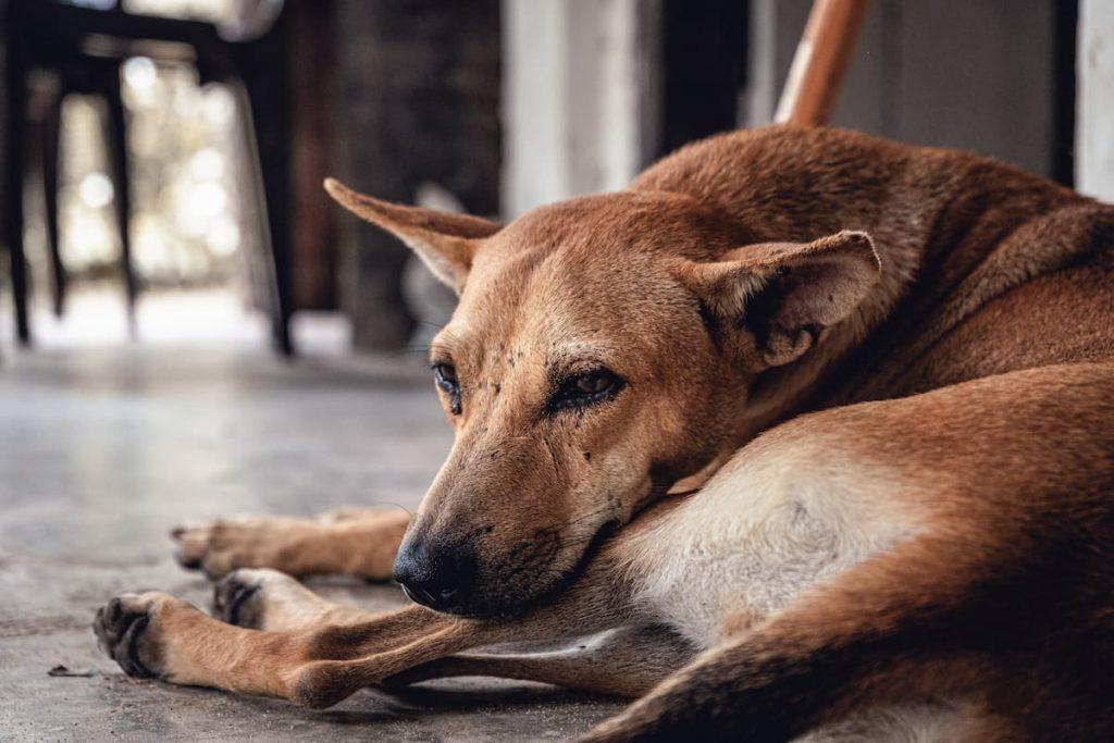 chien au Sri Lanka