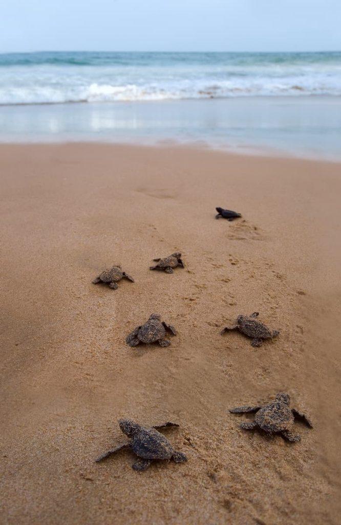 tortues sur la plage de Mirissa