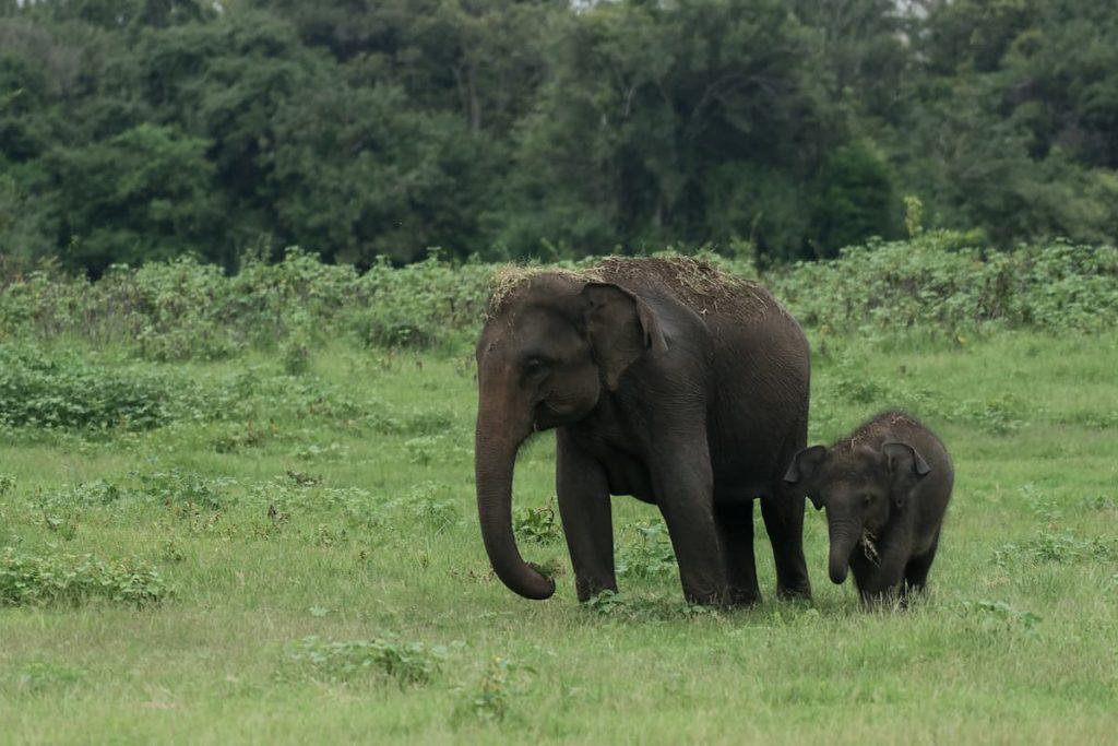éléphants au parc Kaudulla