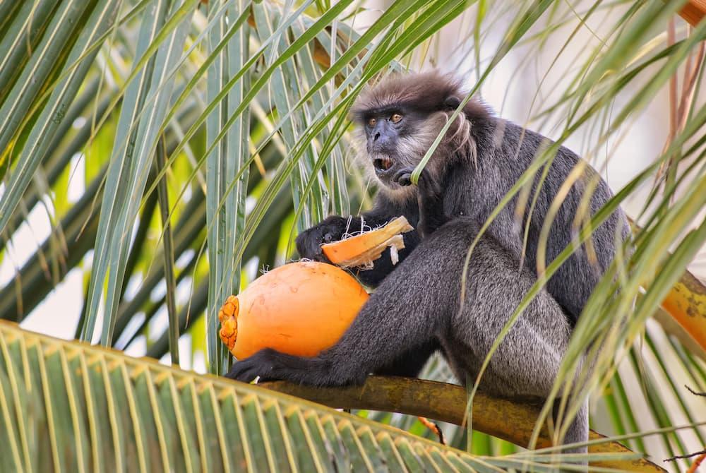 singe sri lanka le singe à feuilles violettes