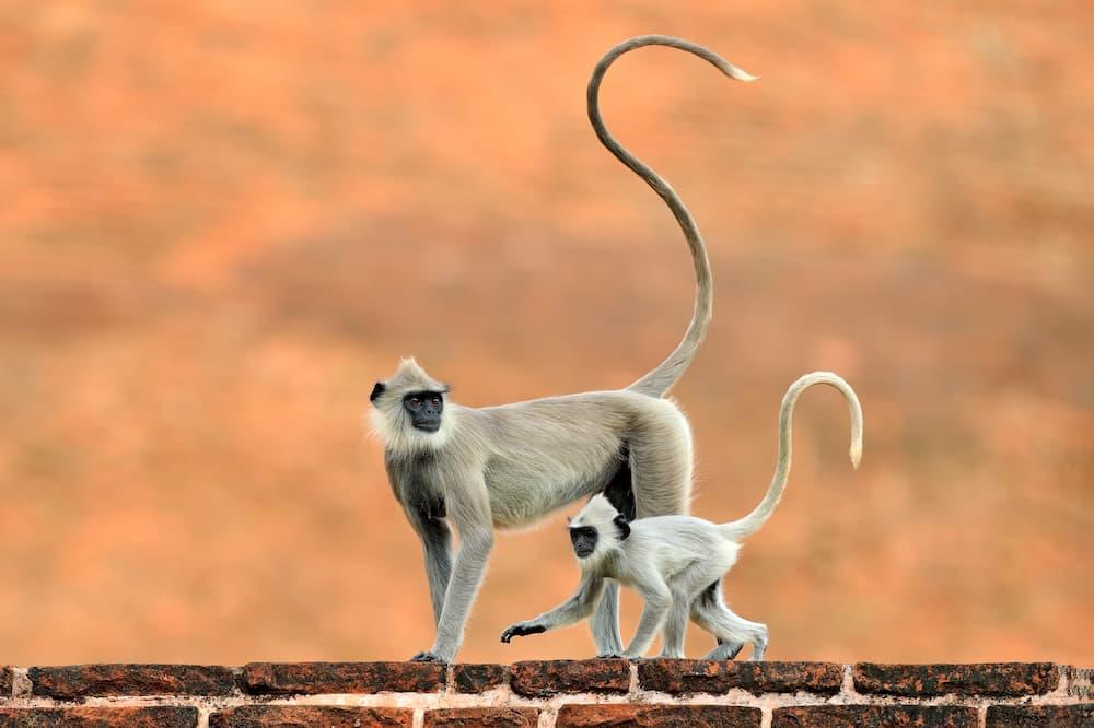 singe sri lanka : le langur gris touffu