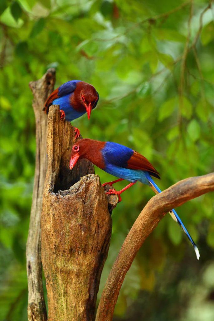 Formosa pie bleue oiseaux Sinharaja